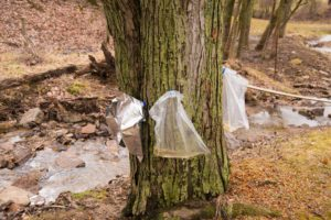 Maple Tree Taps and Bags